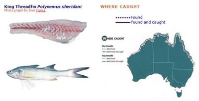 king threadfin